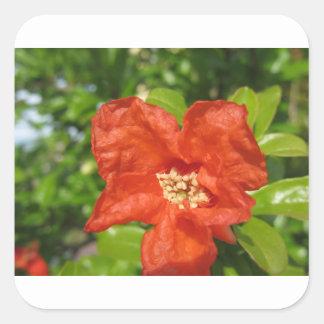 Sticker Carré Plan rapproché de fleur rouge de grenade