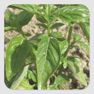 Sticker Carré Plante frais simple de basilic dans le terrain