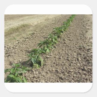 Sticker Carré Plantes frais de basilic dans le terrain