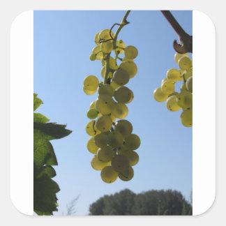 Sticker Carré Raisins blancs sur la vigne contre le ciel bleu