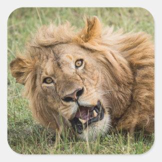 Sticker Carré Repos masculin de lion
