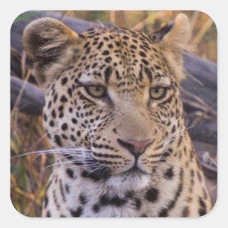 Sticker Carré Séance de léopard, Botswana, Afrique