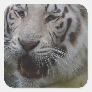Sticker Carré Tigre blanc
