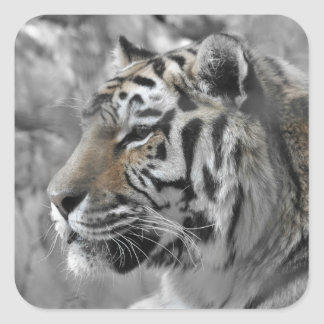 Sticker Carré Tigre blanc nature animal sauvage