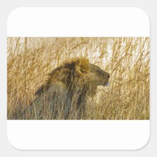 Sticker Carré Un lion attend, le Zimbabwe Afrique