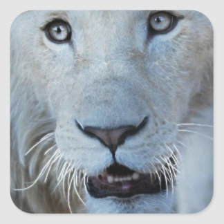 Sticker Carré Un lion blanc en Afrique du Sud