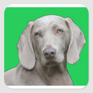 Sticker Carré weimaraner 2
