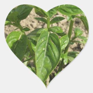 Sticker Cœur Plante frais simple de basilic dans le terrain