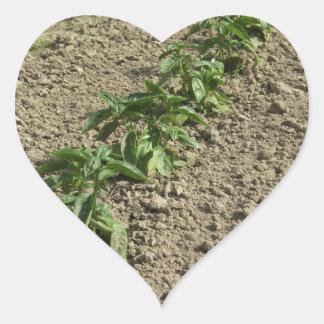 Sticker Cœur Plantes frais de basilic dans le terrain