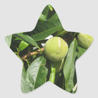 Sticker Étoile Deux pêches vertes non mûres accrochant sur un
