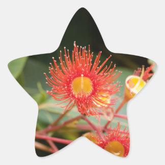 Sticker Étoile Gomme fleurissante rouge (ficifolia de Corymbia)