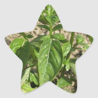 Sticker Étoile Plante frais simple de basilic dans le terrain