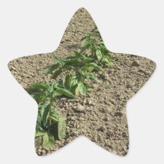 Sticker Étoile Plantes frais de basilic dans le terrain