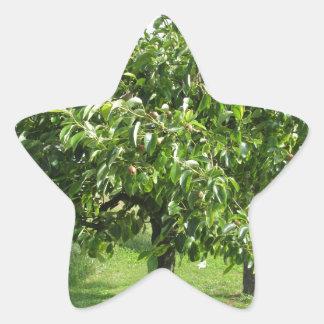 Sticker Étoile Poirier avec le feuille vert et les fruits rouges