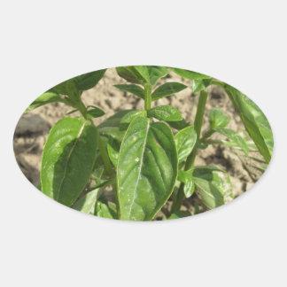 Sticker Ovale Plante frais simple de basilic dans le terrain