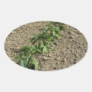 Sticker Ovale Plantes frais de basilic dans le terrain