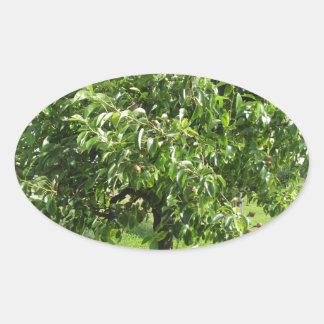 Sticker Ovale Poirier avec le feuille vert et les fruits rouges