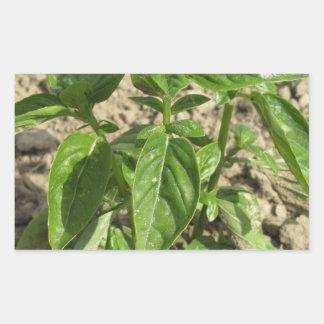 Sticker Rectangulaire Plante frais simple de basilic dans le terrain