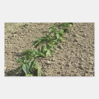 Sticker Rectangulaire Plantes frais de basilic dans le terrain