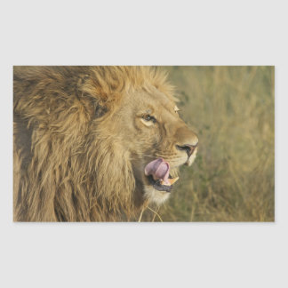 Sticker Rectangulaire Portrait de mâle de lion léchant sa bouche