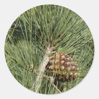 Sticker Rond Arbre de la Californie de plan rapproché de pin de