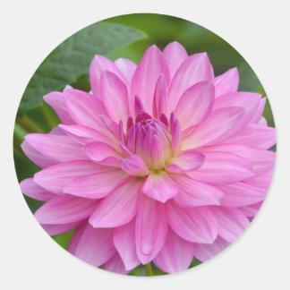 Sticker Rond Beauté rose de dahlia