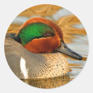 Sticker Rond Canard turquoise viridipenne beau sur l'étang d'or