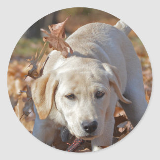 Sticker Rond Chiot jaune de labrador retriever