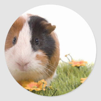 Sticker Rond guinea pigs on a lawn