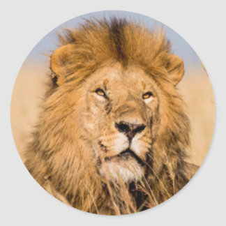 Sticker Rond Lion masculin caché dans l'herbe