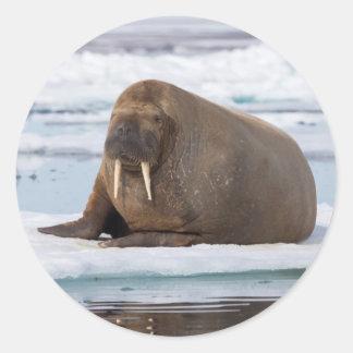Sticker Rond Morse se reposant sur la glace, Norvège