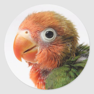 Sticker Rond Papillero d'Agapornis du poussin | de perruche
