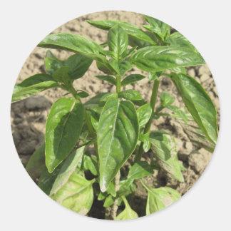 Sticker Rond Plante frais simple de basilic dans le terrain