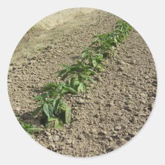 Sticker Rond Plantes frais de basilic dans le terrain