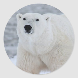 Sticker Rond polar-bear-arctic-wildlife-snow-53425