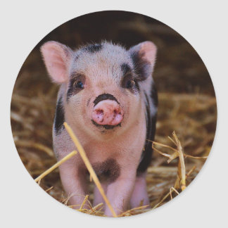 Sticker Rond Porc mignon doux