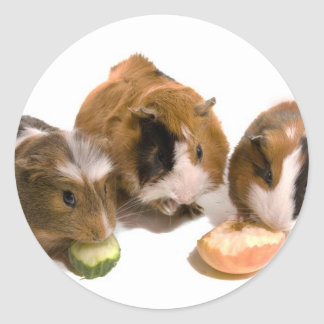 Sticker Rond three guinea pigs who eat,