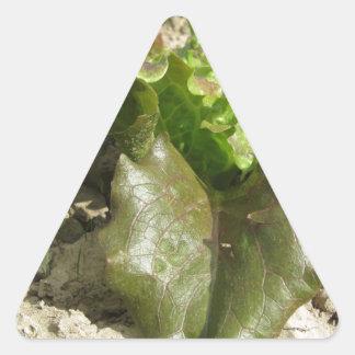 Sticker Triangulaire Laitue fraîche dans le terrain Toscane, Italie