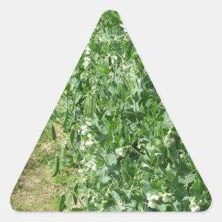 Sticker Triangulaire Plante de pois fleurissant dans un domaine. La