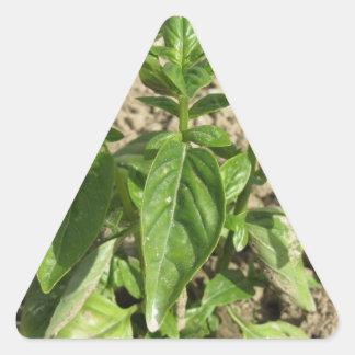 Sticker Triangulaire Plante frais simple de basilic dans le terrain