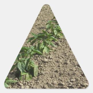 Sticker Triangulaire Plantes frais de basilic dans le terrain