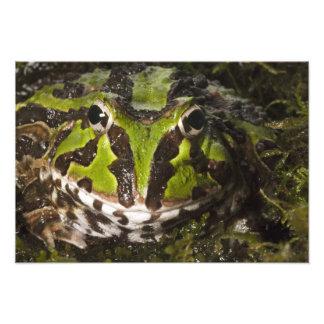 Stolzmanni à cornes Pacifique de Ceratophrys de gr Impression Photographique