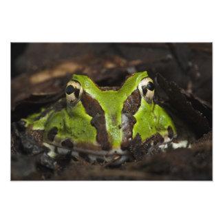 Stolzmanni à cornes Pacifique de Ceratophrys de gr Photos D'art