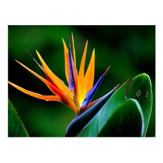 Strelitzia. Oiseau de fleur de paradis Carte Postale