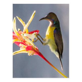 Sunbird sur l'oiseau de la fleur de paradis carte postale
