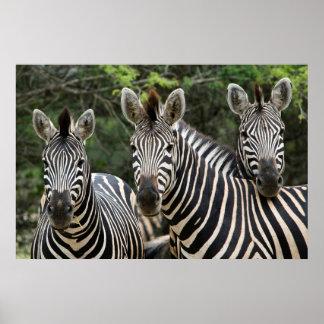 Support du zèbre de trois Burchell (Equus Poster