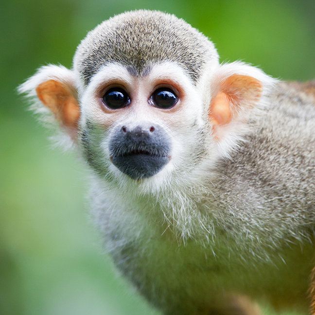 Close-up of a Common Squirrel Monkey