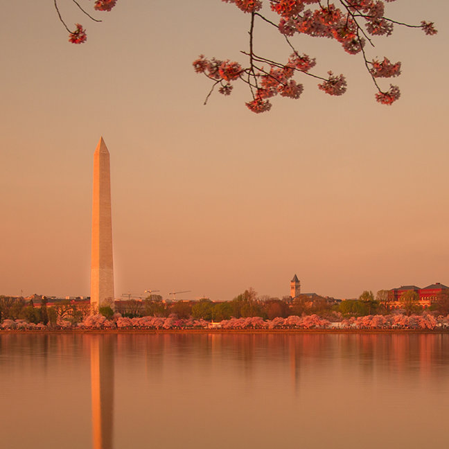 Washington Monument Sakura at sunset.