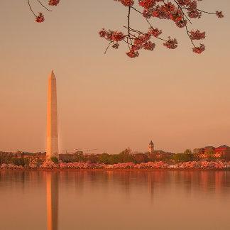 Washington Monument Sakura at sunset.