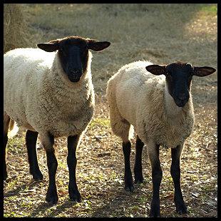 Suffolk Sheep